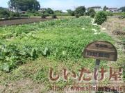 自然栽培畑2